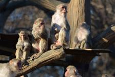 井の頭動物園のアカゲザルの画像007