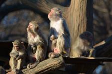 井の頭動物園のアカゲザルの画像009