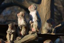 井の頭動物園のアカゲザルの画像010