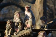 井の頭動物園のアカゲザルの画像011