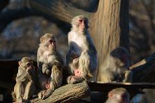 井の頭動物園のアカゲザルの画像012