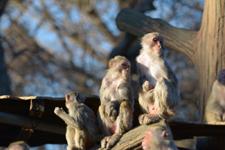 井の頭動物園のアカゲザルの画像013