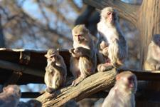 井の頭動物園のアカゲザルの画像014