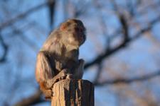 井の頭動物園のアカゲザルの画像017