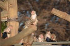 井の頭動物園のアカゲザルの画像018