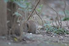 井の頭動物園のニホンリスの画像002