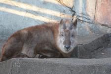 井の頭動物園のニホンカモシカの画像003