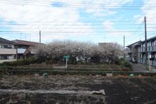 白梅の咲く畑の画像001
