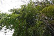 竹林の画像003