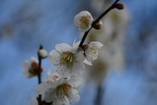 白梅の花の画像008