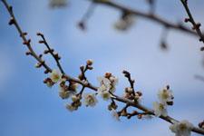 白梅の花の画像014