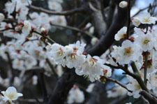 白梅の花の画像016