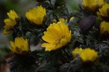 菊の仲間の画像の画像001