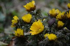 菊の仲間の画像の画像002