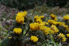 菊の仲間の画像の画像004