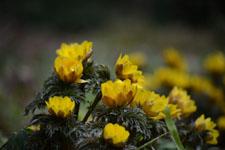 菊の仲間の画像の画像005
