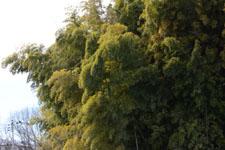竹林の画像011