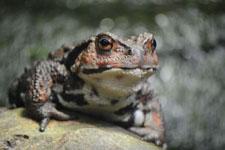 井の頭動物園のヒキガエルの画像004