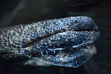 井の頭動物園のオオサンショウウオの画像001