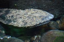 井の頭動物園のオオサンショウウオの画像004
