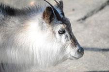 井の頭動物園のニホンカモシカの画像001