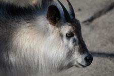 井の頭動物園のニホンカモシカの画像002