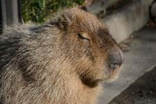 井の頭動物園のカピバラの画像001