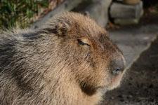 井の頭動物園のカピバラの画像002