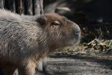 井の頭動物園のカピバラの画像003