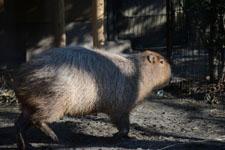 井の頭動物園のカピバラの画像004