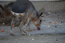 井の頭動物園のトビウサギの画像001