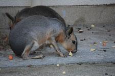井の頭動物園のトビウサギの画像002