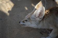 井の頭動物園のフェネックの画像001