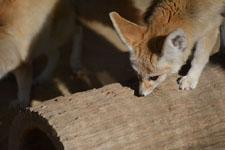 井の頭動物園のフェネックの画像006