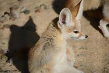 井の頭動物園のフェネックの画像008