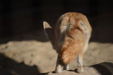 井の頭動物園のフェネックの画像014