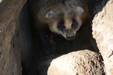 井の頭動物園のアナグマの画像001