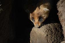 井の頭動物園のアナグマの画像003