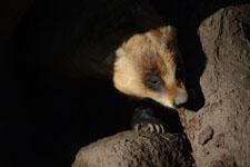 井の頭動物園のアナグマの画像005