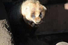 井の頭動物園のアナグマの画像007