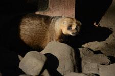 井の頭動物園のアナグマの画像008