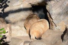 井の頭動物園のアナグマの画像009