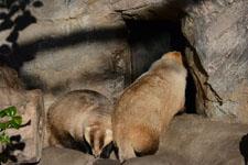 井の頭動物園のアナグマの画像010