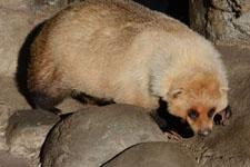 井の頭動物園のアナグマの画像011