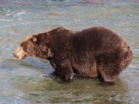 アラスカのグリズリーの画像004