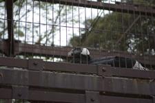 上野動物園のクロコンドル
