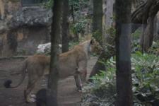 上野動物園のライオンの画像001
