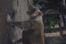 上野動物園のライオンの画像002