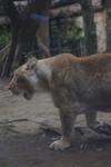 上野動物園のライオンの画像003