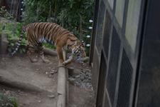 上野動物園のトラの画像001